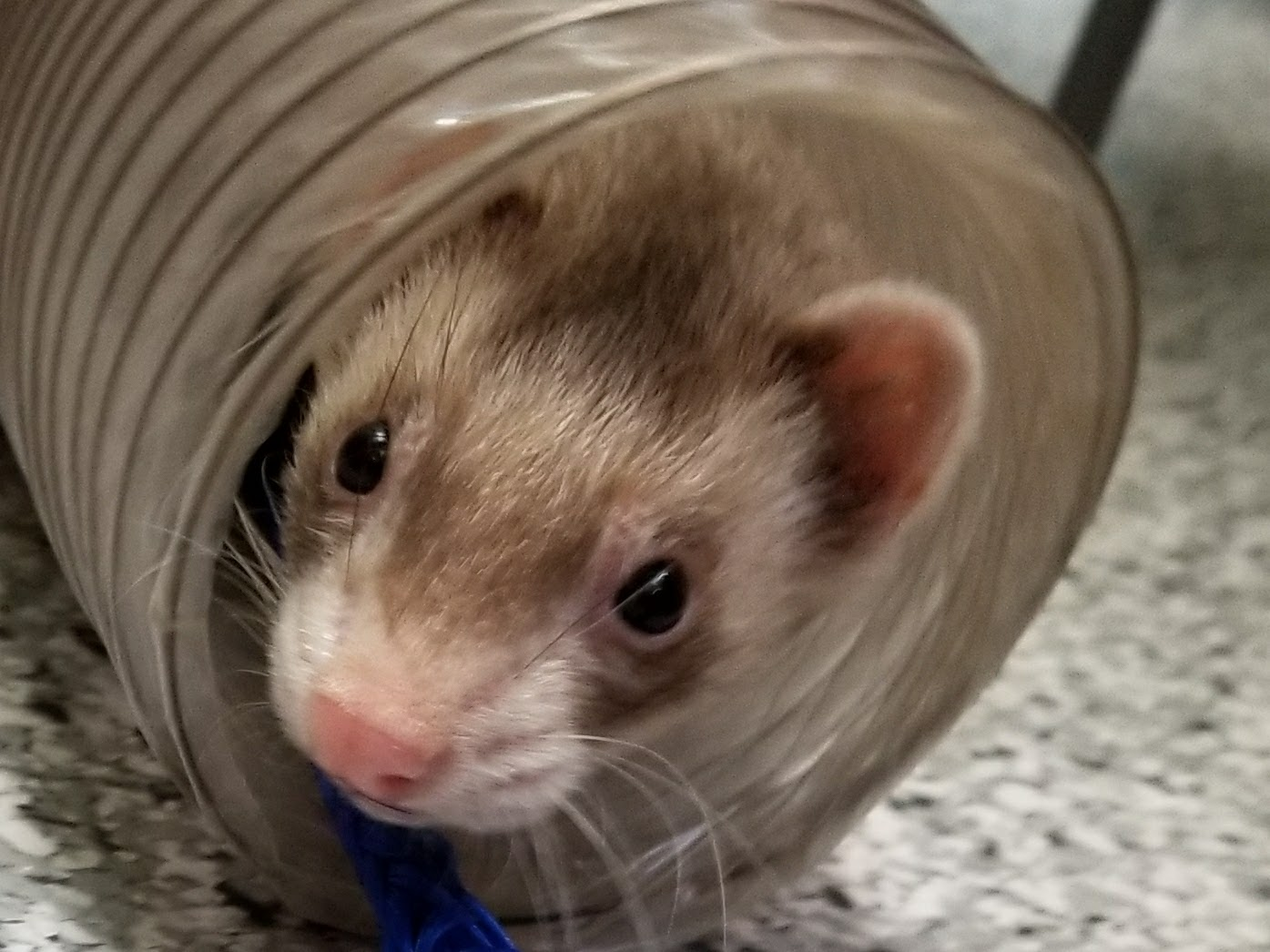 sparky shelter ferret photo